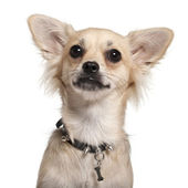 Close-up of Chihuahua, 10 months old, in front of white background — Stock Photo