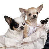 Close-up of Chihuahuas, 1 year old, in baby stroller in front of white background — Stock Photo