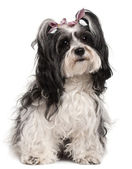 Havanese, 3 years old, sitting in front of white background — Stock Photo