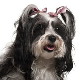 Close-up of Havanese, 3 years old, in front of white background — Stock Photo