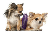 Chihuahuas, 3 years old, in front of white background — Stock Photo