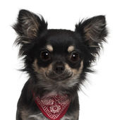 Close-up of Chihuahua wearing handkerchief, 1 year old, in front of white background — Stock Photo