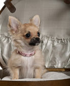Close-up of Chihuahua puppy, 6 months old, sitting in baby stroller — Stock Photo