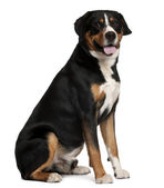 Mixed-breed dog, 5 years old, sitting in front of white background — Stock Photo