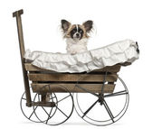Chihuahua, 10 months old, sitting in old-fashioned wagon in front of white background — Stock Photo