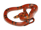 Hypomelanistique Honduran milk snake, Lampropeltis triangulum hondurensis, in front of white background — Stock Photo