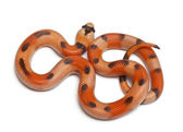 Tricolor Honduran milk snake, Lampropeltis triangulum hondurensis, in front of white background — Stock Photo