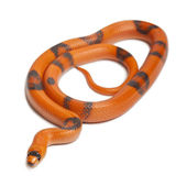 Tricolor Reverse Honduran milk snake, Lampropeltis triangulum hondurensis, in front of white background — Stock Photo