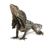 Frill-necked lizard also known as the frilled lizard, Chlamydosaurus kingii, in front of white background — Stock Photo