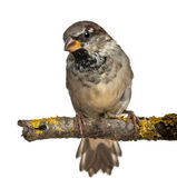 Male House Sparrow, Passer domesticus, 4 months old, in front of white background — Stock Photo