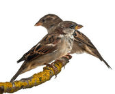 Male and Female House Sparrows, Passer domesticus, 4 months old, in front of white background — Stock Photo