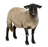 Female Suffolk sheep, Ovis aries, 2 years old, standing in front of white background — Stock Photo