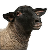 Female Suffolk sheep, Ovis aries, 2 years old, portrait in front of white background — Stock Photo