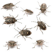 Composition of European stink bugs, Rhaphigaster nebulosa, in front of white background — Stock Photo