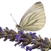 Green-veined White, Pieris napi, on flower in front of white background — Stock Photo