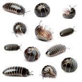Collection of Glomeris marginata. Is a common European species o — Stock Photo