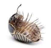 Glomeris marginata. Is a common European species of pill millipe — Stock Photo