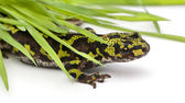 Marbled Newt hiding under blades of grass - Triturus marmoratus — Stock Photo