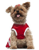Yorkshire Terrier wearing red, 4 and a half years old, sitting in front of white background — Stock Photo