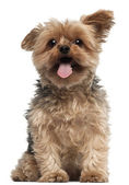 Yorkshire Terrier, 4 and a half years old, sitting in front of white background — Stock Photo
