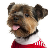 Close-up of Yorkshire Terrier wearing red, 2 years old, in front of white background — Stock Photo