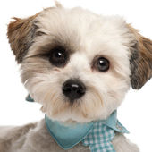 Close-up of Shih Tzu, 8 months old, wearing a tie in front of white background — Stock Photo