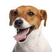 Jack Russell Terrier, 4 years old, close up in front of white background — Stock Photo