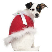 Jack Russell Terrier puppy, 5 months old, wearing a Christmas jumper in front of white background — Stock Photo