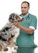 Vet examining an Australian Shepherd in front of white background — Stock Photo