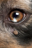 Close-up of Tick attached next to an Australian Shepherd's eye — Stock Photo