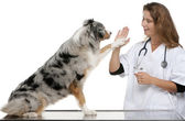 Australian Shepherd giving its paw to a vet in front of white background — Stock Photo