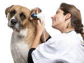 Veterinario que examina un perro del híbrido, oído de perro con un otoscopio delante de fondo blanco — Foto de Stock