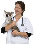 Vet carrying a Chihuahua wearing a space collar in front of white background — Stock Photo