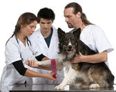 Vets wrapping a bandage around a Border Collie's paw in front of white background — Stock Photo