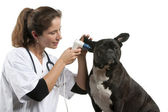 Vet examining a Crossbreed dog, dog with an otoscope in front of white background — Stockfoto