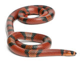 Tangerine Honduran milk snake, Lampropeltis triangulum hondurensis, in front of white background — Stock Photo