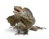 Frill-necked lizard, also known as the frilled lizard, Chlamydosaurus kingii, in front of white background — Stock Photo