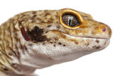 Hypomelanistic Leopard gecko, Eublepharis macularius, in front of white background — Stock Photo