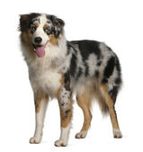 Australian Shepherd dog, 12 months old, standing in front of white background — Stock Photo