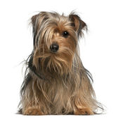 Yorkshire Terrier, 2 years old, sitting in front of white background — Stock Photo