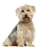 Yorkshire Terrier, sitting in front of white background — Stock Photo