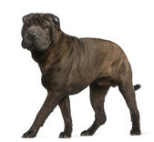 Shar Pei, 11 months old, standing in front of white background — Stock Photo