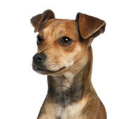 Close-up of Mixed-breed dog, 7 months old, in front of white background — Stock Photo