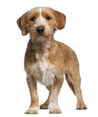 Basset Fauve de Bretagne, 1 year old, standing in front of white background — Stock Photo