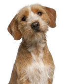 Close-up of Basset Fauve de Bretagne, 1 year old, in front of white background — Stock Photo