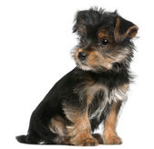 Yorkshire Terrier puppy, 3 months old, sitting in front of white background — Stock Photo