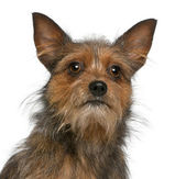 Close-up of Mixed-breed dog, 15 months old, in front of white background — Stock Photo