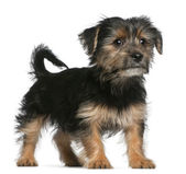 Yorkshire Terrier puppy, 3 months old, standing in front of white background — Stock Photo