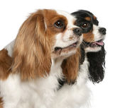 Close-up of Cavalier King Charles Spaniels, 2 and 3 years old, in front of white background — Stock Photo