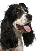 Close-up of English Cocker Spaniel, in front of white background — Stock Photo